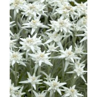 Leontopodium alpinum - Edelweiss - Pack of THREE Plants