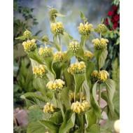 Phlomis russeliana - Turkish or Jerusalem Sage