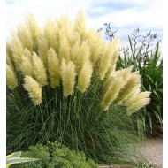 Sunningdale Silver Pampas Grass - Cortaderia selloana Large Specimen Plant