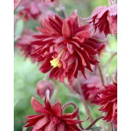Aquilegia Ruby Port - Granny's Bonnet, Columbine