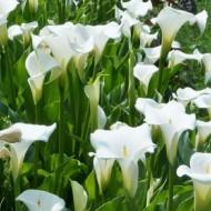 Zantedeschia aethiopica 'Crowborough' - Hardy White Calla Arum Lily
