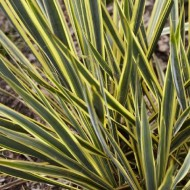 Yucca Bright Edge - Variegated Adams Needle