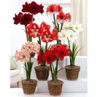 LAST CHANCE! Amaryllis MEGA BAG - Pack of TEN in Assorted varieties - Ideal Home Decor
