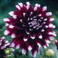 Dahlia Mystery Day - Special Premium Variety - Pack of THREE