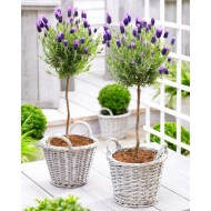 Pair of Beautiful French Lavender Trees with BASKETS