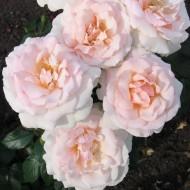 Rose A Whiter Shade of Pale - Hybrid Tea Rose