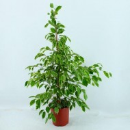 Ficus benjamina Golden King - Weeping Fig - House Plant - 150cms tall