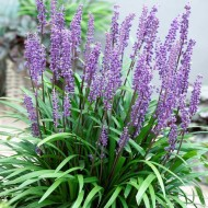 Liriope muscari - Big Blue Lily Turf - Pack of THREE Plants