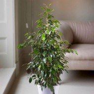 Ficus benjamina Danielle - Weeping Fig Tree - House Plant