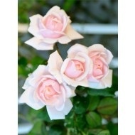 Large 6-7ft Specimen - Climbing Rose New Dawn