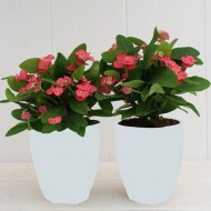 Euphorbia Milliana - Crown of Thorns - Ballerina Pink in White Display Pot