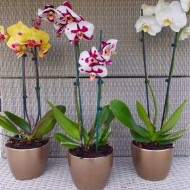 Luxury Phalaenopsis - Pack of THREE Moth Orchids with Gold Pots in Assorted Colours