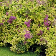 Spirea Golden Princess - Gold Foliage Spiraea