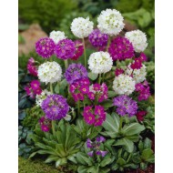 Primula denticulata Collection  - Pack of THREE Plants