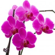 Luxury Phalaenopsis - PINK Moth Orchids in Stylish White display pots - THREE Plants