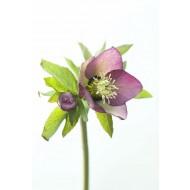 Helleborus orientalis Picotee - Hellebore