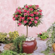 Camellia Tree Standard - Pink Flowering Spring Festival Camellia Tree