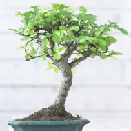 Beautiful Bonsai Tree with Ceramic Dish