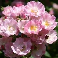 Rose Apple Blossom - Rambling Rose