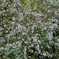 Aster lateriflorus 'Lady in Black' - Michaelmas Daisy
