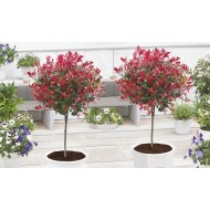 Pair of Evergreen Photinia Little Red Robin Trees in Festive Baskets