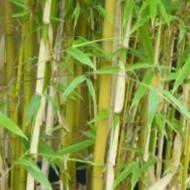 Fargesia Robusta - Clumping Rufa Bamboo