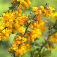 Berberis darwinii - Barberry
