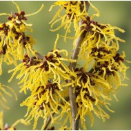Hamamelis x intermedia Westerstede - Chinese Witch Hazel