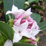 Daphne Perfume Princess - Worlds most fragrant Shrub - New Variety