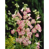 Penstemon Flamingo