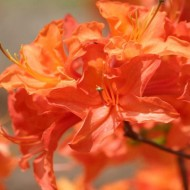 Azalea mollis Golden Eagle - Deciduous Rhododendron