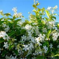Star Jasmin - Fragrant Evergreen Trachelospermum Climber - 120-140cms