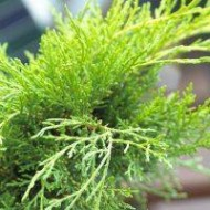 SPECIAL DEAL - Juniperus x media 'Goldcoast'  - Dwarf Slow Growing Conifer