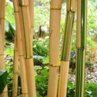 Phyllostachys vivax ''Aureocaulis'' - Large approx 6ft tall Plants +