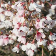 Prunus incisa Kojo-No-Mai - Fuji Cherry