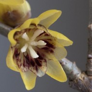 Chimonanthus Praecox - Wintersweet - LARGE