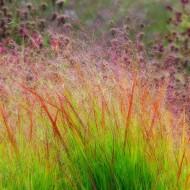 Panicum virgatum Rehbraun - Switch Grass