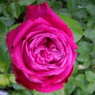 Rose Birthday Boy - Hybrid Tea Rose