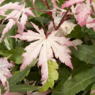 Acer palmatum Asahi-Zuru (Orido-Nishiki)