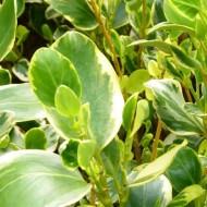 Griselinia littoralis variegata