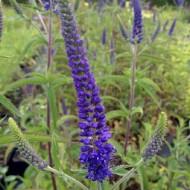 Veronica longifolia Oxford Blue