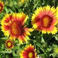 Gaillardia 'Tokajer' - Blanket Flower