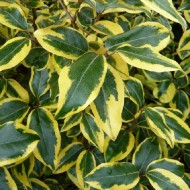 WINTER SALE - Elaeagnus ebbingei Gilt Edge - Large