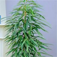 Ficus Alii - Large Indoor Ficus Houseplant - 135cm Specimen