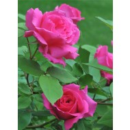 Climbing Rose Zephirine Drouhin - The Thornless Rose