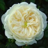 Rose Macmillan Nurse - Shrub Rose