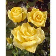 Rose Freedom - Hybrid Tea Rose