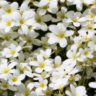 Saxifraga Mossy White - Saxifrage