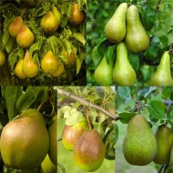 PEAR TREE - Multi-Variety Fruit Tree - PEAR - 5 varieties on one Tree!