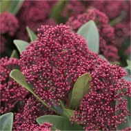 Skimmia japonica Rubella - Pack of THREE Plants